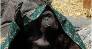 141222020857-orangutan-640x360-reuters
